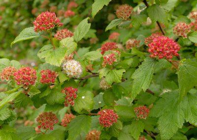 Blooming Shrub Along Holberg Inlet